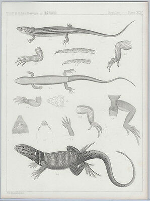 1855 Lithograph - a Collared Lizard from the Pacific Railroad Survey