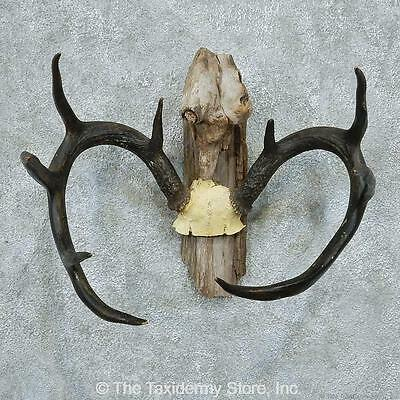 #13355 V | Whitetail Deer Antlers Taxidermy Mount - Horns