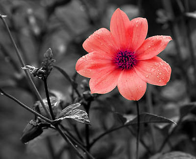 """8x10 Metallic Art Photograph """"B&W WITH RED FLOWER"""" Wall Decor Picture (SME) *"""