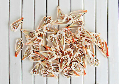 20 x Luhuanus sliced shells Beach Wedding scrapbooking Table scatter