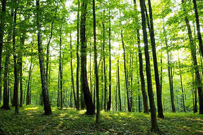Sunny Forest-Wall Mural-15'wide by 8'high