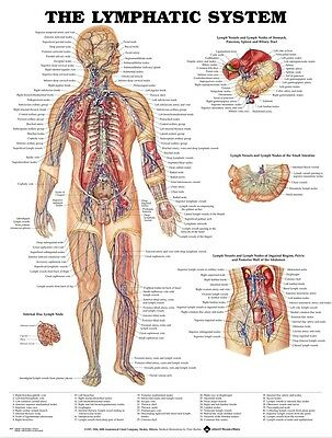 "Human Body Anatomical Chart Muscular System Silk Cloth Poster 17 x 13"" Decor 08"