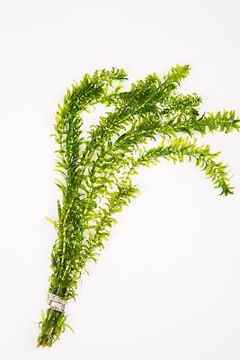 1 - 500 Bunches / Oxygenating Pond Water Plants/ weed - Elodea crispa - Weighted
