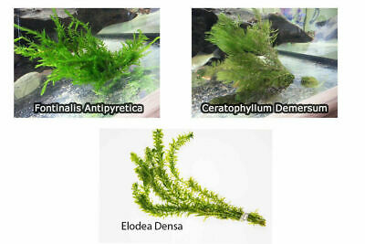 1 - 30 Bunches / Oxygenating Pond Water Plants - 3 Types - Weighted