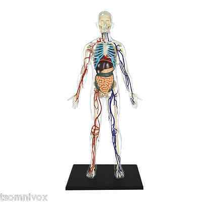 """Human Transparent Body 13""""- Anatomy Educational Model Or Training Aid - 60 parts"""