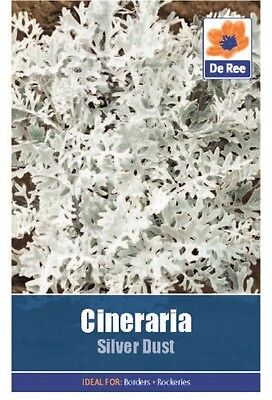 2 Packs of Cineraria Silver Dust Flower Seeds, Approx 150 seeds per pack