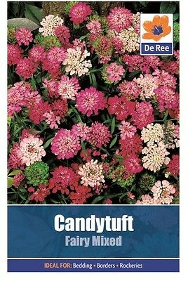 2 Packs of Candytuft Fairy Mixed Flower Seeds, Approx 355 seeds per pack