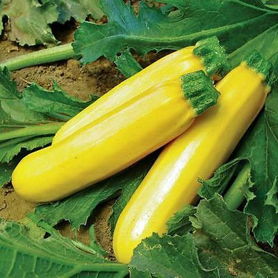 GOLDEN ZUCCHINI (COURGETTE) - 15 seeds (HERITAGE)