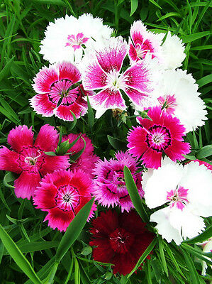 80 Colorful Chinese Pink Seeds Dianthus Chinensis Ornamental Garden Flowers