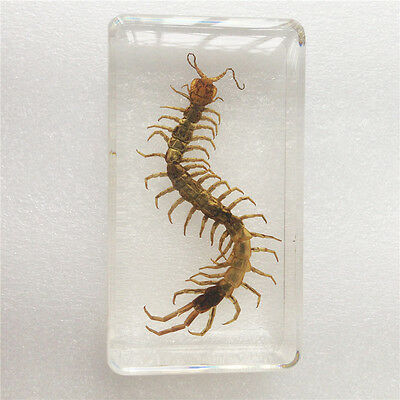 CentipedeScolopendra Subspini Insect Specimen In 7.3x4x1.8cm Paperweight