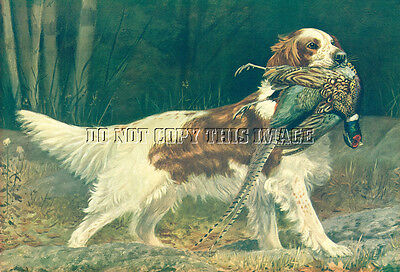 Antique Pope Photograph 8 X 10 Reprint English Setter With Ringneck Pheasant