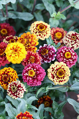 50 Classic Zinnia Elegans Seeds youth-and-old-age Ornamental Garden Flowers