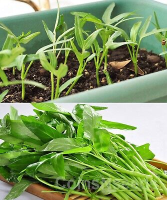 250 seeds of Kangkong, River Spinach, Water Morning Glory Water Spinach Ong Choy