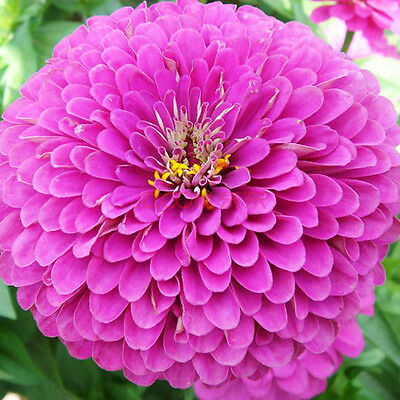 50 Purple Zinnia Elegans Seeds Youth-and-old-age Ornamental Garden Flowers