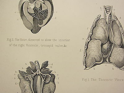 1880 Horse Farriery Print Anatomy Of The Horse The Thoracic Viscera Heart Lungs