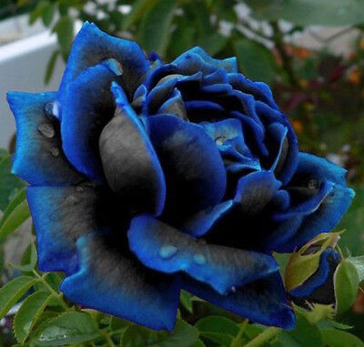 Midnight Blue Rose Flower Seeds, Rare Garden Plant, 25% Discount Buy 2 Or More