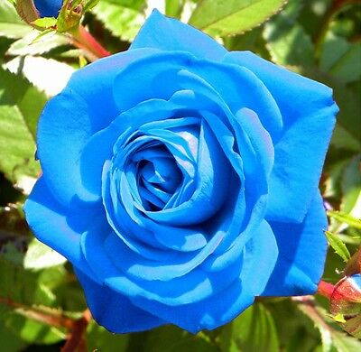 Rare Light Blue Rose Flower Seeds Garden Plant, 25% Discount Buy 2 Or More