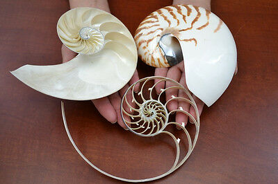 "Sliced Tiger Nautilus 3 Sections Nautical Beach Craft Decor 5"" - 6"" #7360"