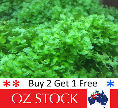 Round Pellia Moss - Live Aquarium Plants for Shrimp & Aquarium Fish Tanks