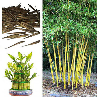 Bambusa Nutans Bamboo Seeds. Choice Of Quantity