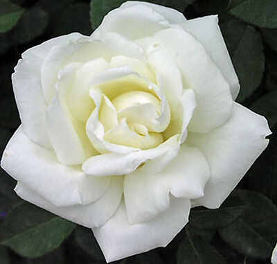 White Rose Flower Seeds Garden Plant, 25% Discount Buy 2 Or More