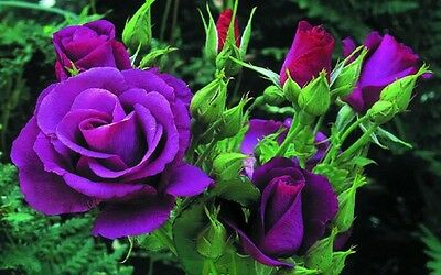 Purple Rose Flower Seeds Garden Plant, 25% Discount Buy 2 Or More