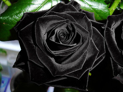 Rare Black Rose Flower Seeds Garden Plant, 25% Discount Buy 2 Or More