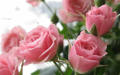 Pink Rose Flower Seeds Garden Plant, 25% Discount Buy 2 Or More