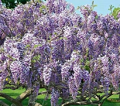 Wisteria Caroline in 1L pot - grafted plant