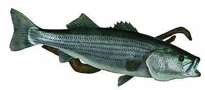 HQ Taxidermy Striped Bass Replica BST46.5-DW 46.5-Inch Wall Mount with Driftwd