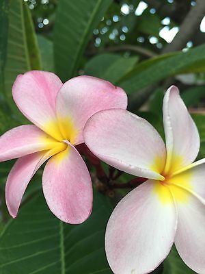 PLUMERIA CUTTING PLANT 8-12 INCHES HOT PINK