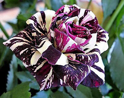 Rare Black Dragon Rose Flower Seeds Garden Plant, Other Colors, UK Seller