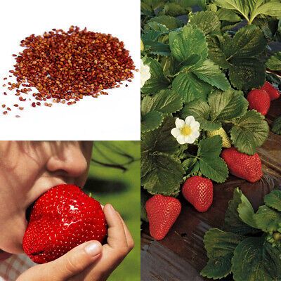 Giant Red Strawberry Seeds, Garden Fruit Plant, Rare And Delicious