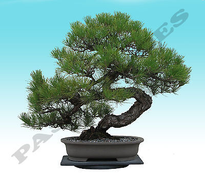 Japanese Black Pine Tree Bonsai Garden Seeds (Pinus thunbergii)