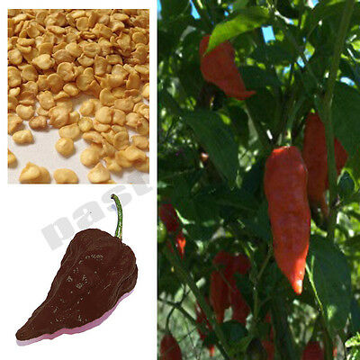 Super Hot Chilli Pepper Chocolate Bhut Jolokia Ghost Chilli Seeds, 100% Genuine