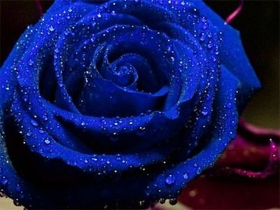 Rare Blue Rose Flower Seeds Garden Plant, 25% Discount Buy 2 Or More
