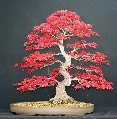 Japanese Red Maple Bonsai Tree Seeds, Maple Bonsai Tree, UK Stock