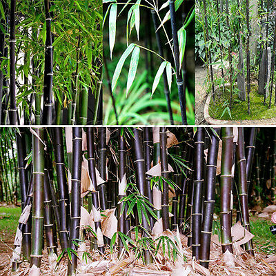 60Pcs Black Bamboo Seeds Phyllostachys Pubescens Hardy Hedging Green Tree Garden