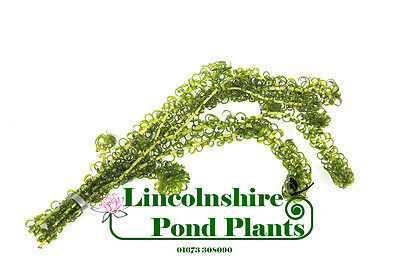 5 - 2500 Strands / Oxygenating Pond Water Plants - Elodea crispa - Weighted
