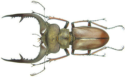Insect - Lucanus formosus - N.Vietnam - Giant Male 54~55mm ....!!