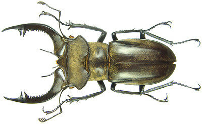 Insect - Lucanus nobilis - N.Vietnam - medium Male 55~56mm ....!!