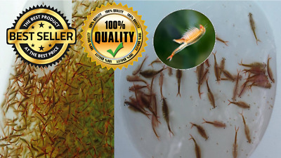 10,000 Thai Fairy Shrimp eggs Alive food for Betta Killifish Guppy Fry Best