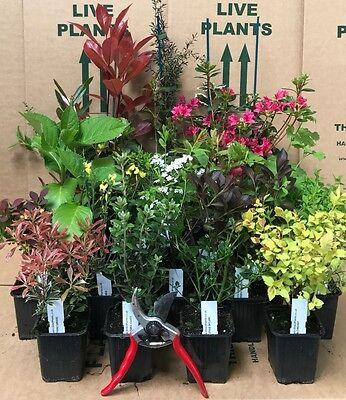 3X MIXED ESTABLISHED GARDEN SHRUBS - HIGH QUALITY POTTED PLANTS - Direct Plants