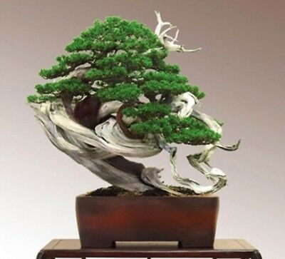 Rare Juniper Bonsai Tree Seeds, Japanese Juniper Bonsai, UK Stock