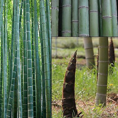 Riesen-Bambus•Moso•Phyllostachys edulis/pubescens•500 bis 2000 Samen/seed•Bamboo