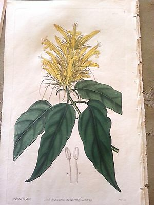 ORIGINAL ANTIQUE HAND COLORED BOTANICAL  CURTIS WALWORTH 1828 justicia