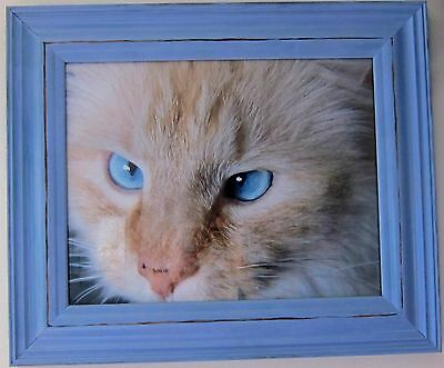 Blue Distressed Wood Framed Photo Of Blue Eyed Cat Opening 11 X 14 Frame 19 X16