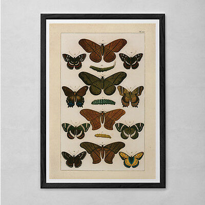 VINTAGE BUTTERFLY PRINT- High Quality Reproduction - Old Nature Print Butterfly