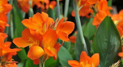 Canna Lily -  Orange (canna x generalis) 5 Reliable Viable Seeds