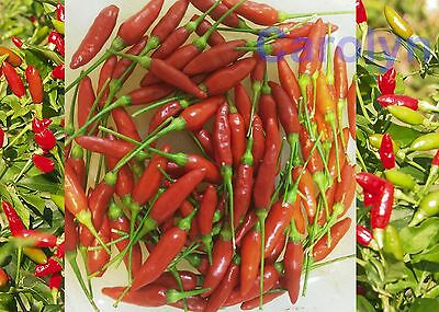 100 Seeds of Tabasco Pepper, Hot Chili Pepper, Thai Tabasco Chilli Pepper